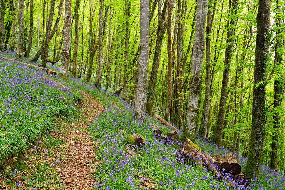 bluebells-kilminorth-woods